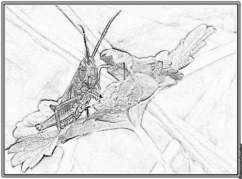 portrait-sauterelle