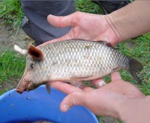 Hybridation en pisciculture