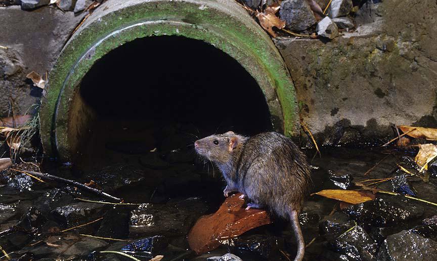 """Résultat de recherche d'images pour """"journaliste rats d'égouts"""""""