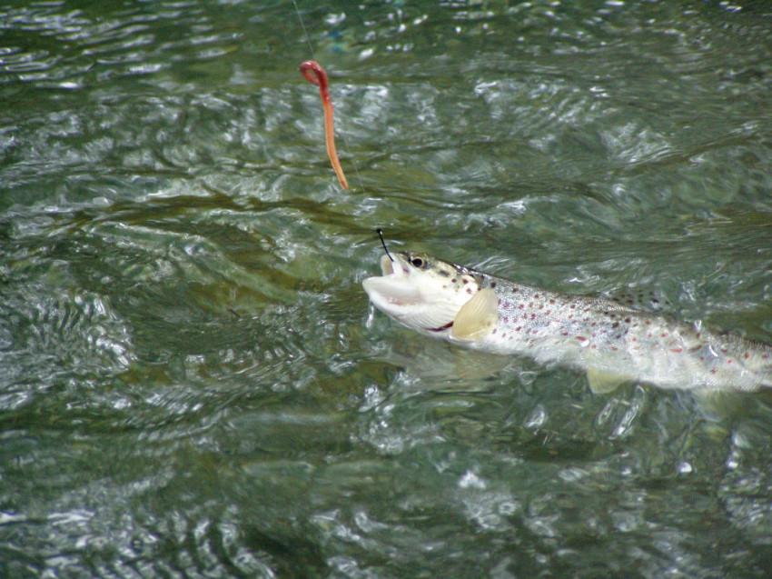 appat pour truite riviere