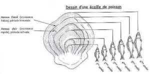 etude-scalimetrique-analyse-de-lage-en-fonction-de-lecaille-du-poisson